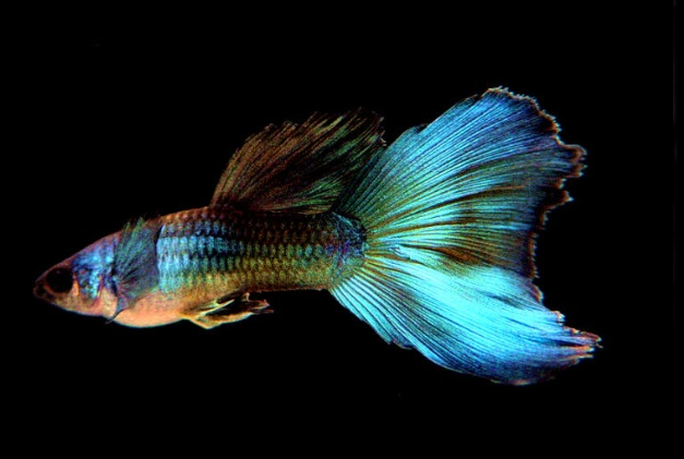 孔雀鱼有哪些品种