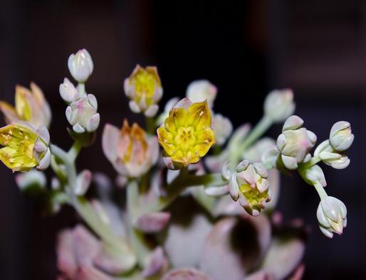 观音莲开花吗?观音莲怎样养殖呢?