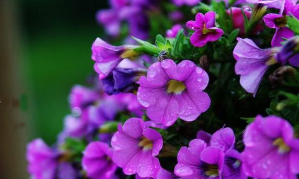 阳台植物选择 阳台适合养哪些藤蔓植物