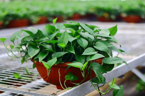 绿萝有毒吗 绿萝的养殖方法和注意事项