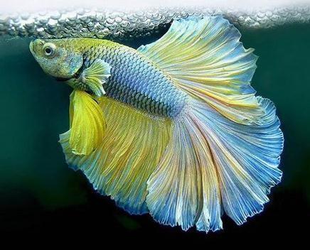 斗鱼是什么鱼 斗鱼怎么养 饲养斗鱼的注意事项