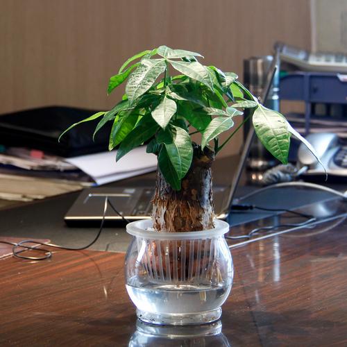 办公室里发财树的养殖方法 发财树防辐射吗