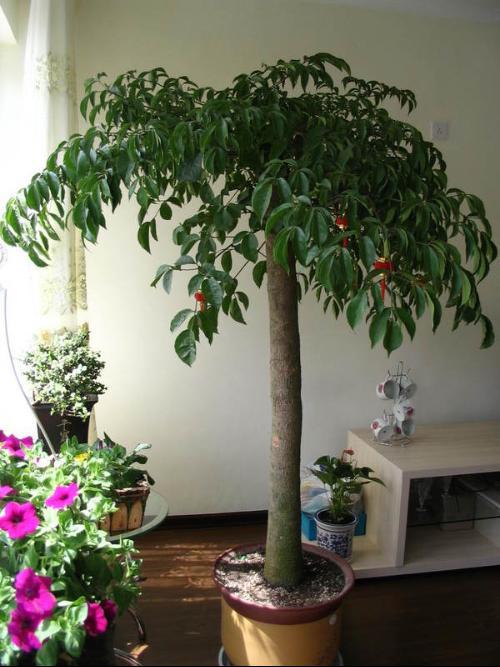 怕冷怕热还怕干!如此娇气的幸福树到底怎么养?