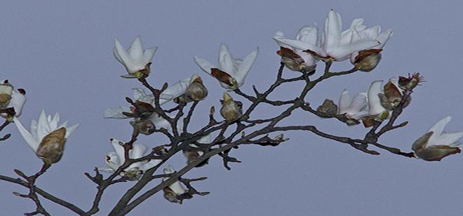木兰花花大,香气迷人,通常生长在五米额木兰树上,花谢后叶子才能长